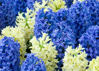 Hyacinth-general