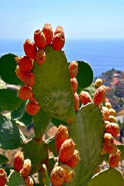 Kaktus-OPUNCIYa-cvetet-krasivo-i-daet-sladkie-sedobnye-plody