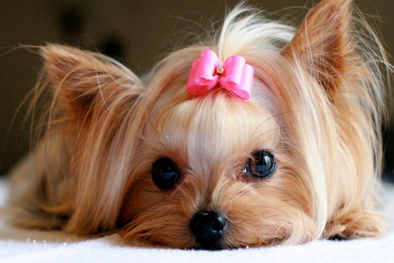 8-Собака породы йоркширский терьер