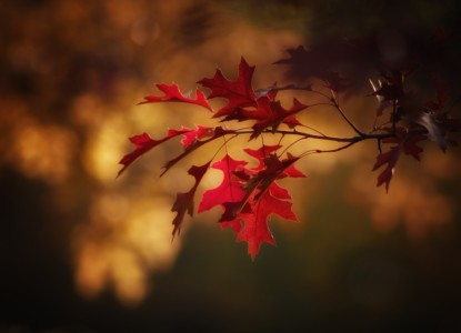 maple-leaves-2895335_960_720