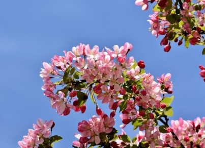 ornamental-apple-tree-4162359_1280