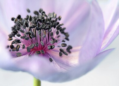 anemone-179006_1280