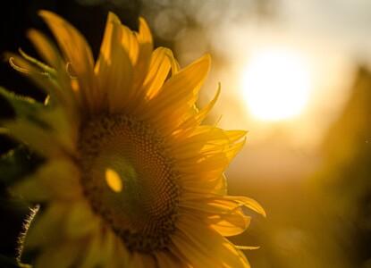 sunflower-5370278_1280
