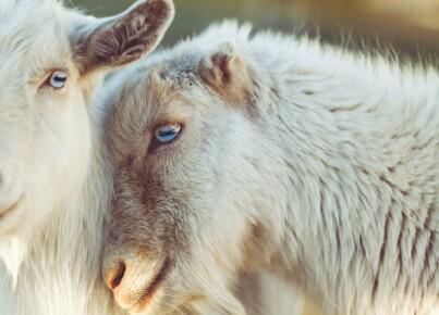 sheep-2592305_1280